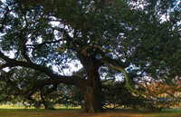 Emancipation Oak (<a href='http://www.hamptonu.edu/about/emancipation_oak.cfm' style='color:#ebebeb'>Visit Site</a>)